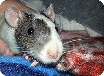 Rat for adoption in Lakewood, Washington - White with Grey Head