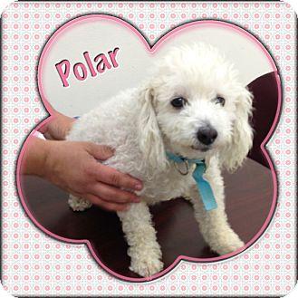 Poodle (Miniature) Mix Dog for adoption in Corpus Christi, Texas - Polar