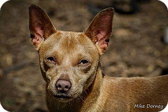 Chihuahua Mix Dog for adoption in Westminster, California - Hugo