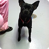 Adopt A Pet :: Cujo - Fort Riley, KS