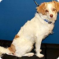 Adopt A Pet :: Bonree - Gilbert, AZ