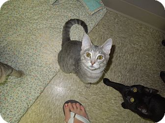 Domestic Shorthair Cat for adoption in Medina, Ohio - Andy