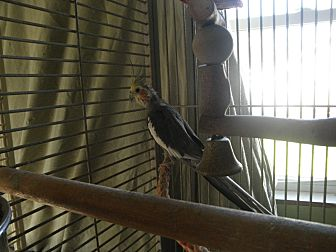 Cockatiel for adoption in Neenah, Wisconsin - Santiago