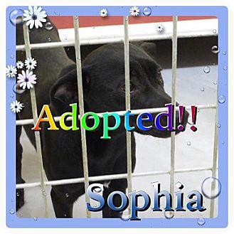 Labrador Retriever Mix Dog for adoption in Kenmore, New York - Sophia