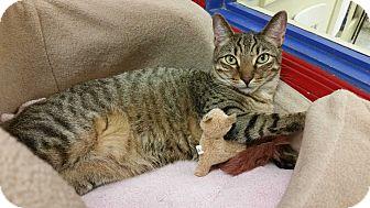 Bengal Cat for adoption in Phoenix, Arizona - Sammie