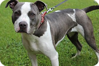 American Staffordshire Terrier Mix Dog for adoption in Bedminster, New Jersey - Kaylee