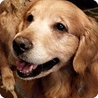 Adopt A Pet :: Chief - St Louis, MO