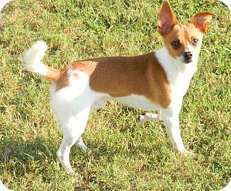 Chihuahua Dog for adoption in Umatilla, Florida - Patches