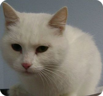 Domestic Shorthair Cat for adoption in Knoxville, Iowa - Mistie