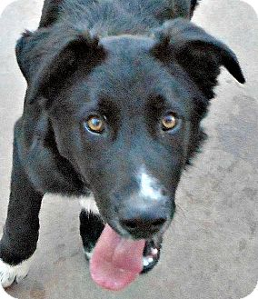 German Shepherd Dog/Border Collie Mix Puppy for adoption in Oakley, California - Baby Huck