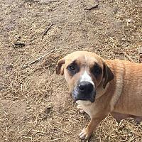 Anatolian Shepherd Mix Dog for adoption in ST LOUIS, Missouri - Rebecca