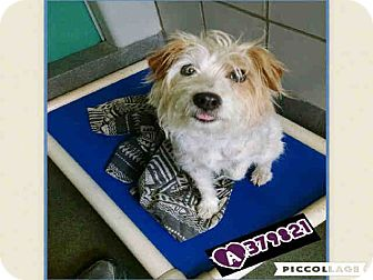 Terrier (Unknown Type, Small) Mix Dog for adoption in New York, New York - Becky
