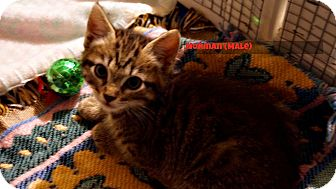 Domestic Shorthair Kitten for adoption in Alamo, California - Norman