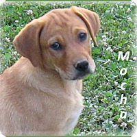 Adopt A Pet :: Mocha - Marlborough, MA