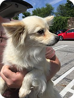 Papillon/Pomeranian Mix Dog for adoption in Oak Ridge, New Jersey - Tinker