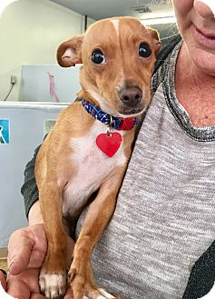 Italian Greyhound/Chihuahua Mix Puppy for adoption in Los Angeles, California - Jerry