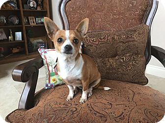 Chihuahua Mix Dog for adoption in Houston, Texas - Indie