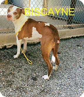 Pit Bull Terrier Mix Dog for adoption in Greensboro, North Carolina - Biscayne