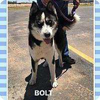Adopt A Pet :: Bolt - Big Spring, TX