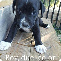 Adopt A Pet :: Star Wars Puppies - Kylo - Fayette, MO