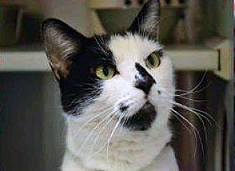 Domestic Shorthair Cat for adoption in Encino, California - Dottie
