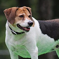 Adopt A Pet :: Brandi - Crocker, MO