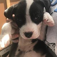 Adopt A Pet :: Roscoe - Guthrie, OK