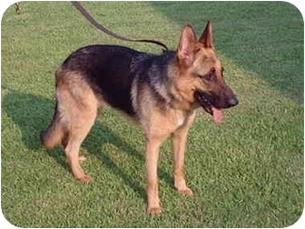 German Shepherd Dog Dog for adoption in Pike Road, Alabama - Cleo