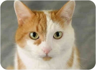 Domestic Shorthair Cat for adoption in Chicago, Illinois - Patches