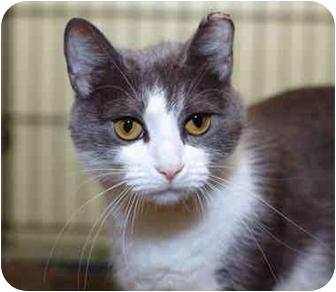 American Shorthair Cat for adoption in Brooklyn, New York - Ophelia