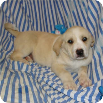 Golden Retriever/Labrador Retriever Mix Puppy for adoption in Bel Air, Maryland - Riley