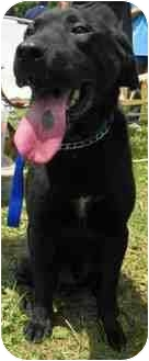 Labrador Retriever Mix Dog for adoption in Loudonville, New York - Solomon