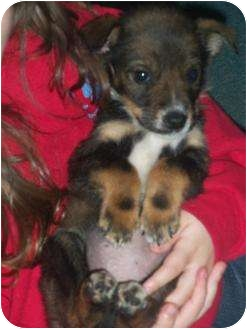 Jack Russell Terrier/Shih Tzu Mix Puppy for adoption in Williston, Vermont - Penny