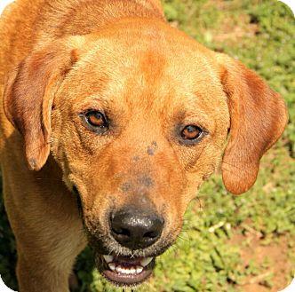 Redbone Coonhound Mix Dog for adoption in Portland, Maine - Buddy