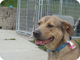 Australian Cattle Dog/Labrador Retriever Mix Dog for adoption in Crookston, Minnesota - Maggi