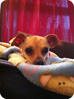 Chihuahua/Dachshund Mix Dog for adoption in Alexandria, Virginia - Minnie