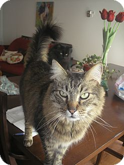 Maine Coon Cat for adoption in Laguna Woods, California - Awesome Jonah
