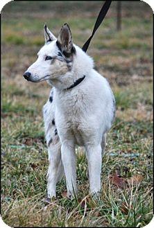 Collie Dog for adoption in Washington, Illinois - Gabe