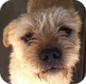 Border Terrier/Airedale Terrier Mix Dog for adoption in Boulder, Colorado - Caleb