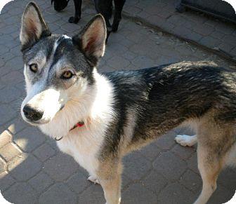 Siberian Husky Dog for adoption in Gilbert, Arizona - Keshia