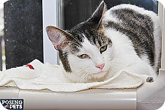Domestic Shorthair Cat for adoption in Salem, Ohio - Greg
