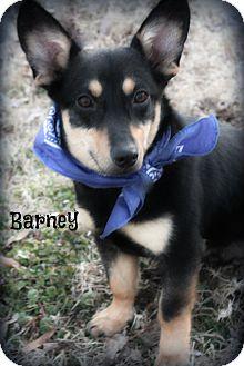 Corgi Mix Puppy for adoption in Cranford, New Jersey - Barney