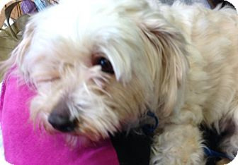 Bichon Frise/Poodle (Miniature) Mix Dog for adoption in San Francisco, California - Eloise