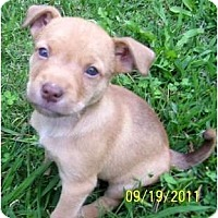 Adopt A Pet :: Chardonney - Plainfield, CT