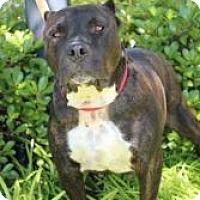 Adopt A Pet :: Shorty - justin, TX