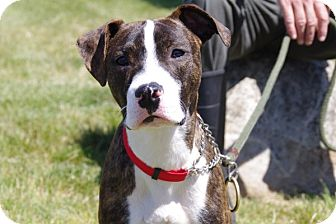 Boxer Mix Puppy for adoption in Elyria, Ohio - Clyde