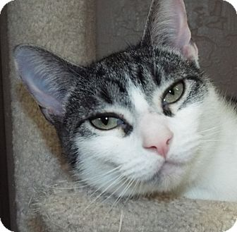 Domestic Shorthair Cat for adoption in Grants Pass, Oregon - Eloise