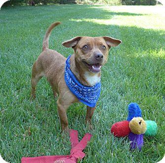 Dachshund/Corgi Mix Dog for adoption in Mocksville, North Carolina - Hobo