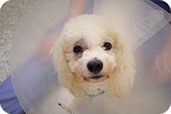 Bichon Frise/Poodle (Miniature) Mix Dog for adoption in Bradenton, Florida - Peach Pit Patty