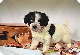 Shih Tzu/Beagle Mix Puppy for adoption in Southington, Connecticut - Harper
